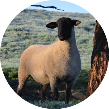 Suffolk Sheep | Breed Information